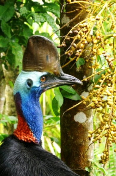 Cassowary and palm fruit